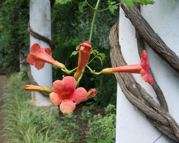 Red trumpet vine