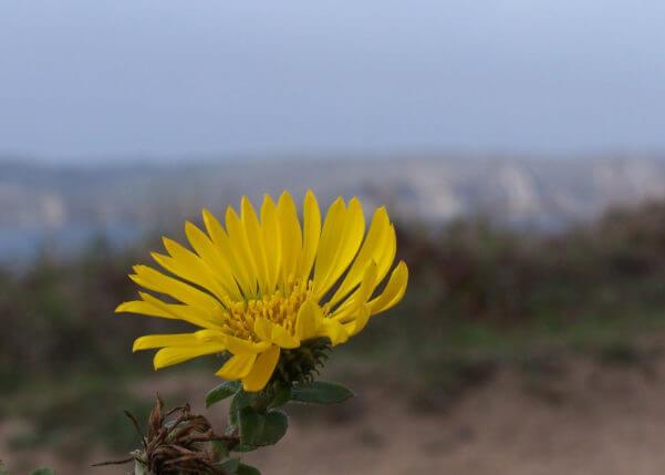 Yellow flower against cliffs